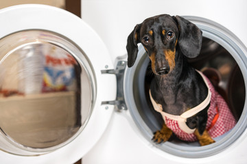 Adorable dog breed of dachshund, black and tan, looking from washing machine.  Laundry and dry cleaning pet service.  Funny ad for your business
