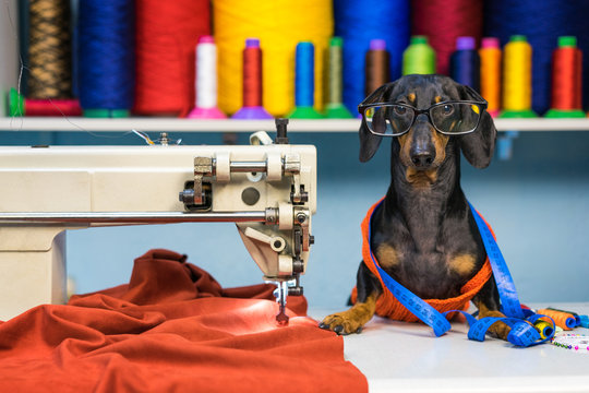 Adorable dog breed of dachshund, black and tan, in the glasses, seamstress sitting and sews on sewing machine. Funny ad for your business