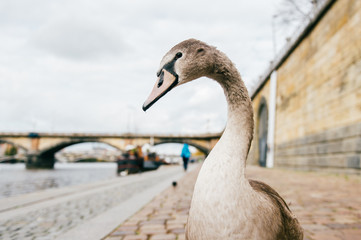 Goose leader funny portrait. Swan walking on river coast in Prague. Beautiful comic bird posing in city street in summer day. Feathered gray swan stepping on stoney embankment outdoor at nature.