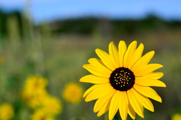 sunflower with sky in background, Helianthus annus