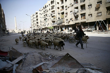 A herd of sheep are seen in the besieged town of Douma, Eastern Ghouta, in Damascus