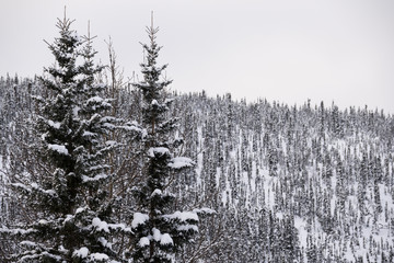 Tall snow-covered pine trees in Alaska, tree-covered mountain in background