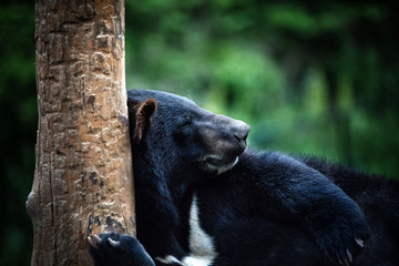 Lying himalayan asiatic black bear in Dalian forest zoo