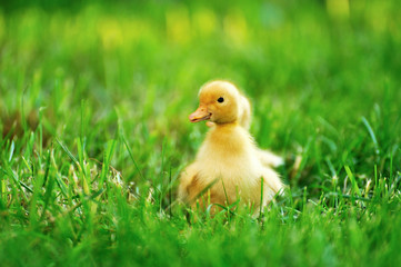 Small duck  of green grass