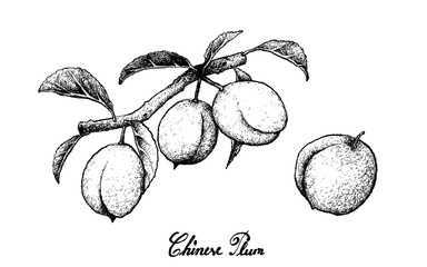 Hand Drawn of Chinese Plums on White Background