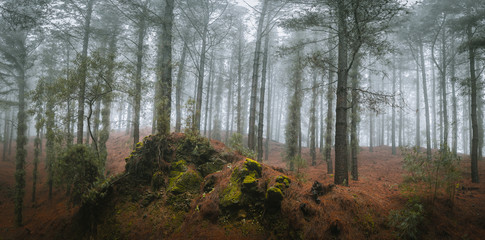 Wall Murals Forest Mysterious pine forest. Rainly and misty weather on Santo Antao Island, Cape Verde.