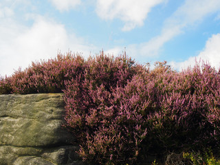 purple flowering heather growing on a boulder in the yorkshire moors with a blue bright cloudy sky