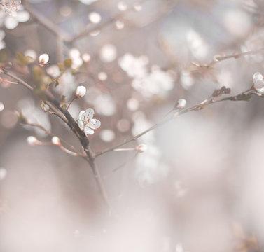 cherry blossom close up macro photo, spring bloom flowers