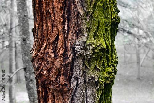 Multicolored Bark Oak Tree Texture On The Snowy Forest Of Madrid