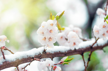 Flowers apricot tree in spring when fell out the last snow