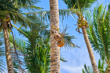 Cut coconut is lowered from a tree