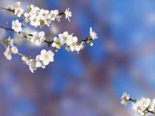 Plum tree white spring flowers