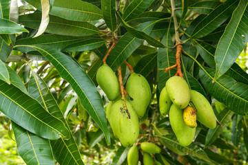 Green mango fruit on a tree
