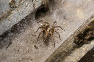 Orb Weaver Spider on a wet web Macro