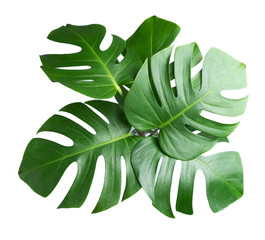 tropical botanical  leaves backgrounds on white