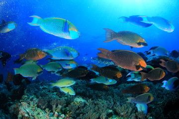 Parrotfish fish school underwater coral reef