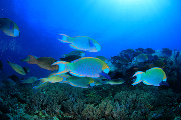 Parrotfish fish school underwater coral reef