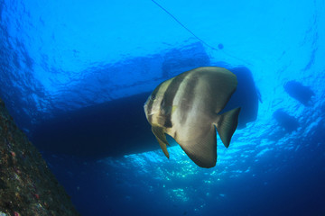 Spadefish under scuba dive boat