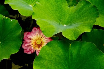 peeking lotus