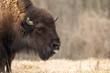 buffalo close up with tounge out