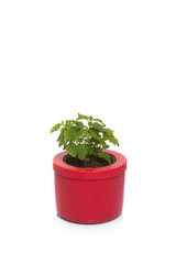 lemon balm in pot