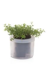 Thyme inside a pot