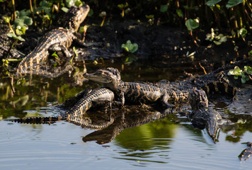 Hatchling american alligators sunning on a fallen tree branch in the marsh water