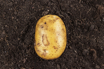 Wall Mural - fresh raw potato on the soil background