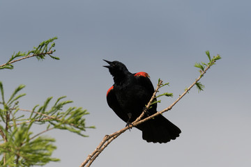 Male red-winged blackbird perched and singing on a branch against a pale blue sky