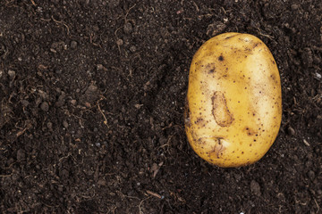Wall Mural - fresh raw potato on the soil background with copy space