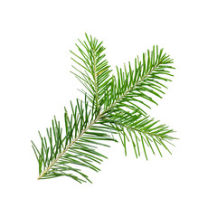 Spruce or Fir Branch Isolated on White