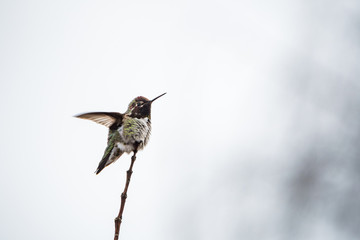 tiny anne's humming bird shaking its wings on the tip of a thin twig with bright background
