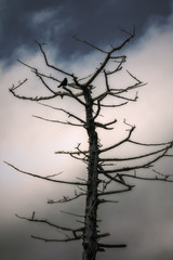 silhouette of a dead dry tree with crow on the branches on the background of gloomy sky