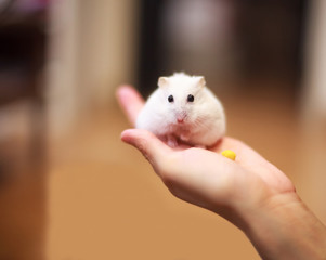Cute Winter White Dwarf Hamster on the owner hand is being fed with pet food. The Winter White Hamster is also known as the Winter White Dwarf, the Djungarian or the Siberian Hamster.