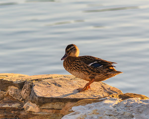 Female Mallard Duck with Blue Wing Feathers