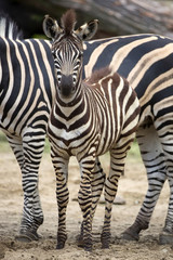 Young zebra in a clearing