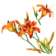 Lily flowers are isolated watercolor painted.