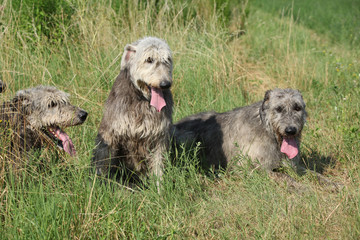 Irish wolfhounds resting in high grass