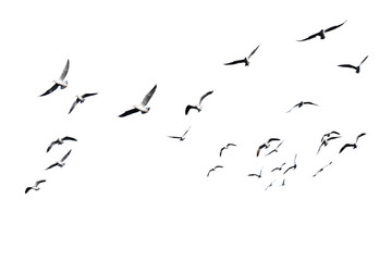 Zelfklevend Fotobehang Vogel Flock of birds flying isolated on white background. This has clipping path.