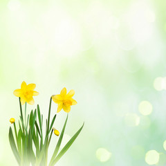 Nature spring background with Yellow narcissus flowers