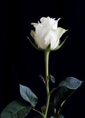 A close-up of a single white rose