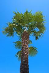 Tropical palm tree