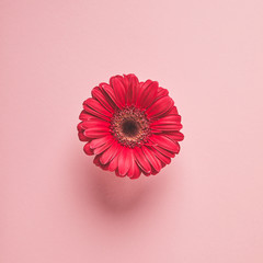 close-up view of beautiful red gerbera flower isolated on pink