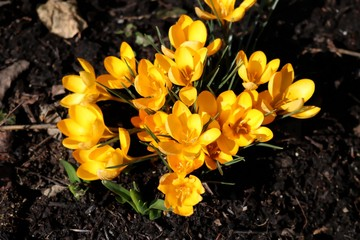 Bunch of yello Crocus in early spring, garden crocus, big blossoms