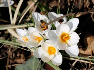 White Crocus, bunch, yellow center, bee collecting nectar in early spring