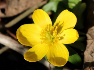 Eranthis hyemalis, yellow aconite, blossom, close-up
