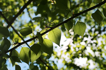 Green fresh leaves of trees on clear blue sky