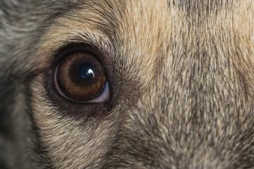 dog eye close up