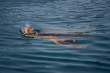 Colorful sea turtle (caretta caretta) swimming in the azure sea in Zakynthos Island, Greece. Blue fresh background, wild cute underwater sea animal.