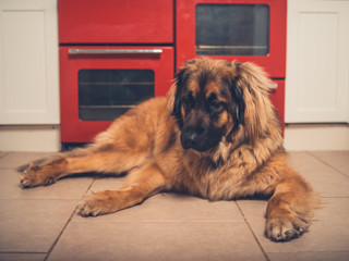 Big Leonberger dog in the kitchen